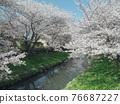 row of cherry trees, cherry blossom, spring 76687227