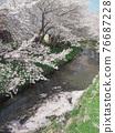 row of cherry trees, cherry blossom, spring 76687228