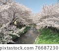 row of cherry trees, cherry blossom, spring 76687230