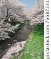 row of cherry trees, cherry blossom, spring 76687231