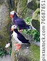 puffin (Fratercula) 76687851