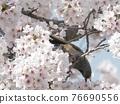 brown-eared bulbul, cherry blossom, cherry tree 76690556
