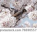 brown-eared bulbul, cherry blossom, cherry tree 76690557