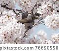 brown-eared bulbul, cherry blossom, cherry tree 76690558