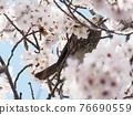 brown-eared bulbul, cherry blossom, cherry tree 76690559