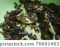 Many argentine cockroaches eating pear crawling in the pelvis, closeup view. 76691463
