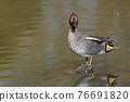 水鴨 鳥兒 鳥 76691820