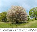 Wild mountain cherry tree 76698559