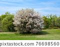 Wild mountain cherry tree 76698560