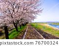 cherry blossom, cherry tree, row of cherry trees 76700324