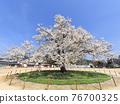 one cherry tree, cherry blossom, cherry tree 76700325