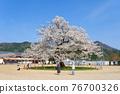 one cherry tree, cherry blossom, cherry tree 76700326