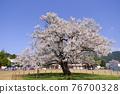 one cherry tree, cherry blossom, cherry tree 76700328