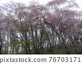 在早晨霧的櫻桃樹 76703171