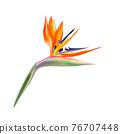 isolated flowers of strelitzia 76707448