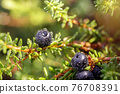 Blueberry antioxidants on a background of Norwegian nature. 76708391