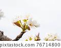 梨花在果園裡 76714800