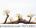 梨花在果園裡 76714801