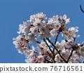 Yoshino cherry tree in full bloom 76716561
