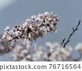 Yoshino cherry tree in full bloom 76716564