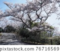 cherry blossom, spring, Shōdo Island 76716569