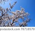 Yoshino cherry tree in full bloom 76716570