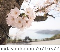 cherry blossom, yoshino cherry, spring 76716572