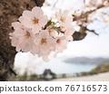 cherry blossom, spring, Shōdo Island 76716573