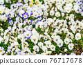 盛開 花園 花朵 76717678