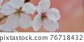 cherry blossom, cherry tree, spring 76718432