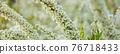 spiraea thunbergii, baby's breath spirea, thunberg spirea 76718433