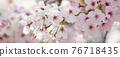 cherry blossom, cherry tree, spring 76718435