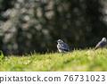 A small bird, White wagtail (Motacilla alba), walking on a green lawn. 76731023