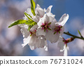 Flowering almond trees against blue sky 76731024