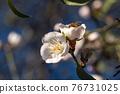 Flowering almond trees against blue sky 76731025