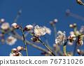 Flowering almond trees against blue sky 76731026