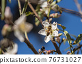 Bee On Almond Blossom. honeybee in almond blossoms 76731027