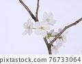 花 櫻桃樹 櫻花 76733064