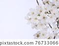 花 櫻桃樹 櫻花 76733066