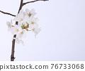 花 櫻桃樹 櫻花 76733068
