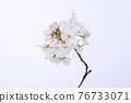 花 櫻桃樹 櫻花 76733071