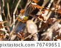 鳥的白眼睛,綠色的身體,戴著白眼鏡,被誤認為是鶯 76749651