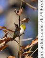 鳥的白眼睛,綠色的身體,戴著白眼鏡,被誤認為是鶯 76749653