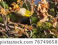 鳥的白眼睛,綠色的身體,戴著白眼鏡,被誤認為是鶯 76749658