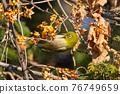 鳥的白眼睛,綠色的身體,戴著白眼鏡,被誤認為是鶯 76749659
