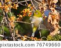 鳥的白眼睛,綠色的身體,戴著白眼鏡,被誤認為是鶯 76749660