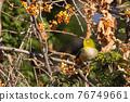 鳥的白眼睛,綠色的身體,戴著白眼鏡,被誤認為是鶯 76749661