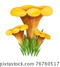 Golden chanterelle bunch in the grass, front view 76760517