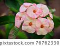 Poi Sian flowers 76762330