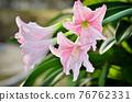 Hippeastrum johnsonii Bury bloom in garden 76762331